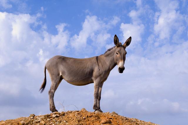 20 Jul 2005, Kea Island, Cyclades, Greece --- Donkey Near Kato Meria --- Image by © Atlantide Phototravel/Corbis